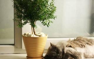 Комнатное растение мирт выращивание и уход