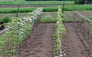 Посадка малины расстояние между кустами и рядами