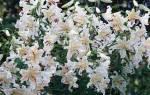 Цветы лилия сорта и уход