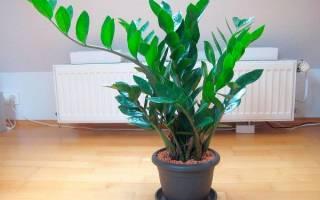 Как вырастить долларовое дерево в домашних условиях