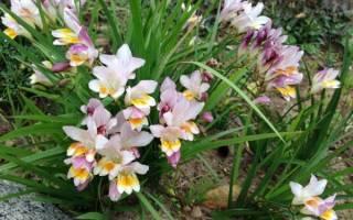 Фрезии выращивание в саду