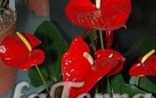 Комнатный цветок антуриум как за ним ухаживать