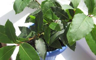 Посадка лаврового листа семенами