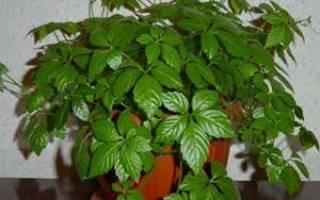 Комнатное растение березка сохнут листья