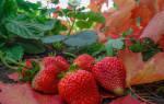 Высадка клубники осенью