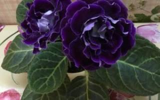 Комнатный цветок глоксиния посадка и уход