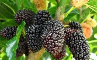 Плоды тутового дерева полезные свойства