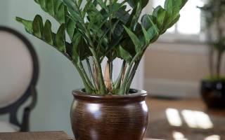 Комнатные цветы замиокулькас уход в домашних условиях
