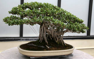 Как вырастить дерево бонсай дома