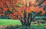 Чем подкормить сливу осенью