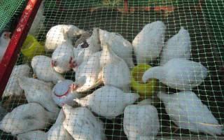 Выращивание кур на даче летом