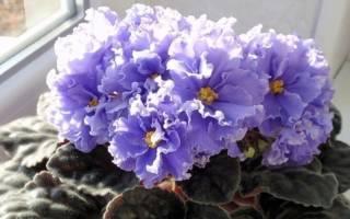 Сорта фиалок с огромными цветами