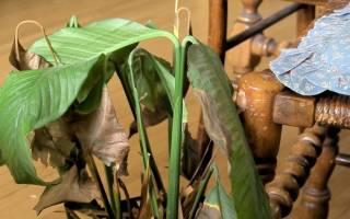 Почему сохнут листья у спатифиллума что делать