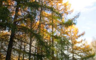 Посадка лиственницы осенью