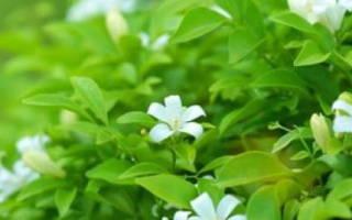 Цветок мурайя лечебные свойства