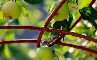Как вырастить яблоню из семечка пошагово