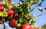 Правильная посадка яблони осенью