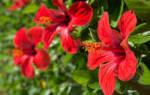 Удобрения для китайской розы в домашних условиях