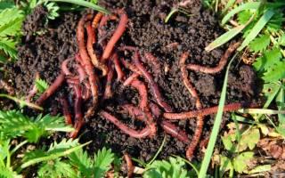 Калифорнийские черви как разводить на даче