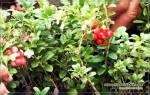 Как посадить бруснику на даче