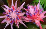 Цветок эхмея как ухаживать
