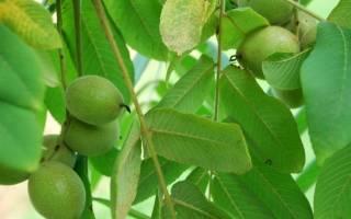 Маньчжурский орех выращивание в подмосковье
