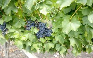 Виноград кодрянка посадка и уход