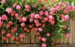 Плетущиеся цветы для сада многолетние