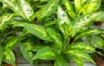 Эфенбахен цветок польза и вред