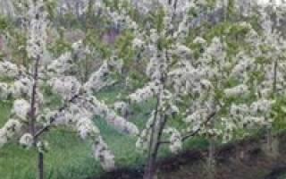 Как правильно посадить черешню весной