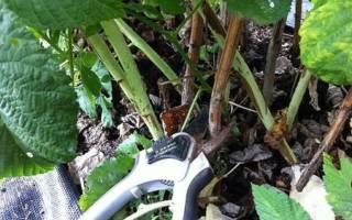 Как ухаживать за ремонтантной малиной осенью