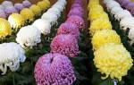 Выращивание хризантем в теплице бизнес