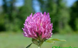 Клевер луговой формула цветка
