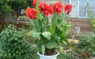 Кана цветок уход в саду