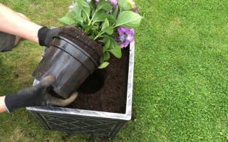 Когда лучше сажать гортензию осенью или весной