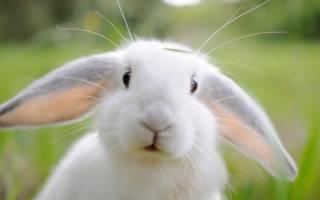 У кролика горячие уши что делать