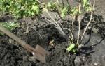 Как пересадить смородину осенью на новое место