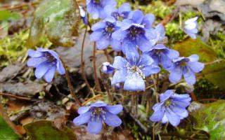 Цветок печеночница описание