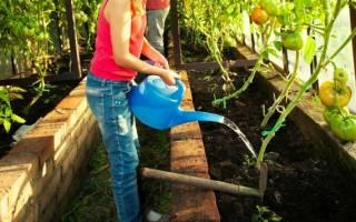 Как правильно поливать помидоры в теплице