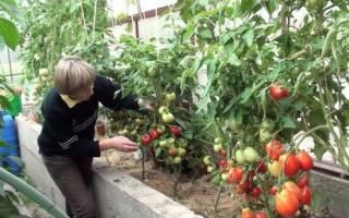Уход за помидорами после высадки в грунт