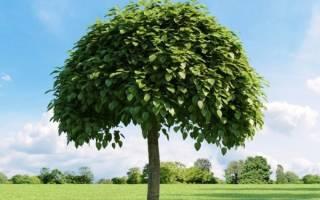 Дерево катальпа посадка и уход