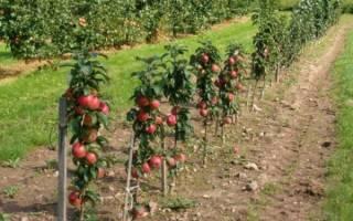 Как правильно обрезать колоновидную яблоню осенью
