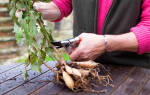 Выкапывание георгинов осенью