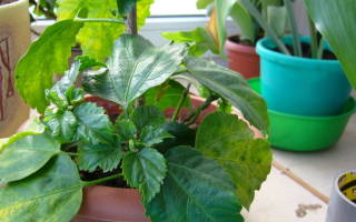 Почему желтеют листья у гибискуса комнатного
