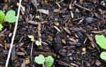 Как вырастить репу на даче