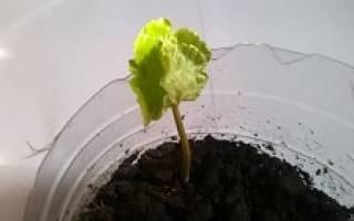 Как посадить кофейное дерево в домашних условиях
