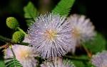 Комнатный цветок мимоза стыдливая