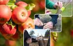 Прививание плодовых деревьев весной