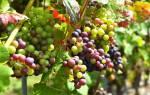 Недозревший виноград что делать
