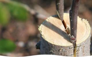 Как привить грушу весной пошагово